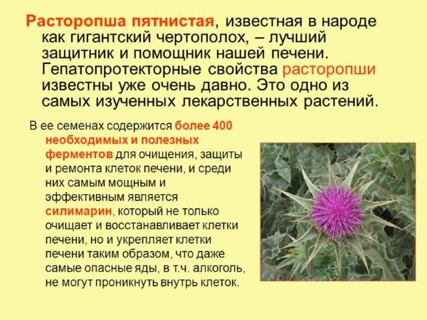 Расторопша. Инструкция по применению, лечебные свойства, польза и вред, противопоказания приема травы и таблеток