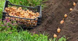 Когда сажать картофель в 2018 году: температура почвы оптимальная для посадки