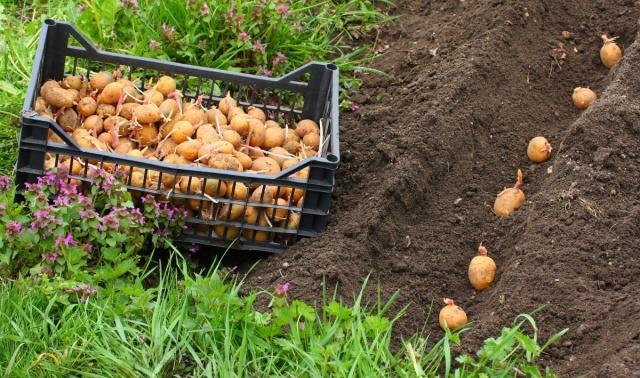 Когда сажать картофель в 2020 году: температура почвы для посадки
