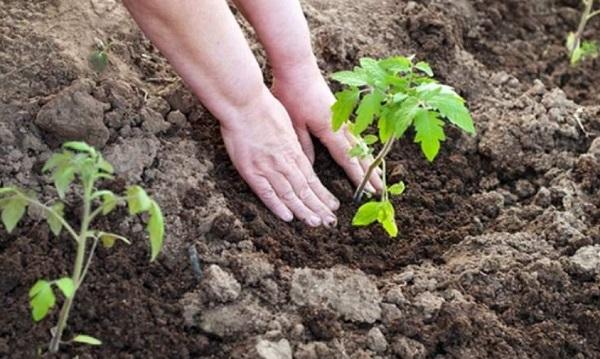 Удобрения для помидор: какие и когда вносить