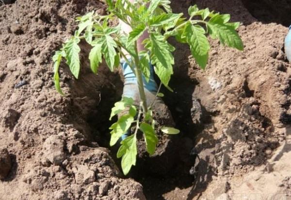Удобрения при посадке помидор: какие