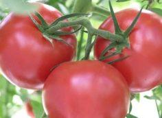 Лучшие сорта помидор для открытого грунта 2020: отзывы, фото